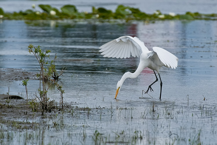 Great Egret Picture-169