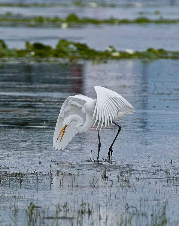 Great Egret Picture-170
