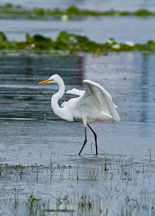 Great Egret Picture-171