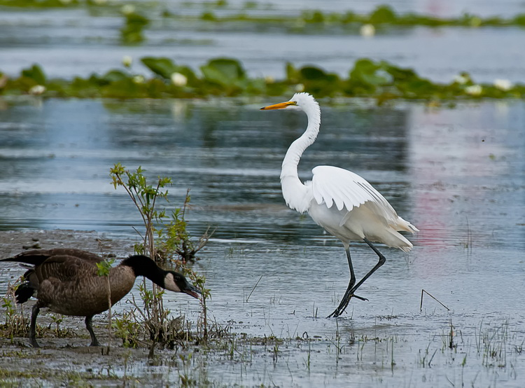 Great Egret Picture-172