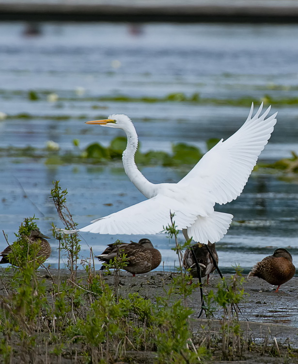 Great Egret Picture-173