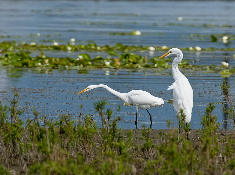 Great Egret Picture-174