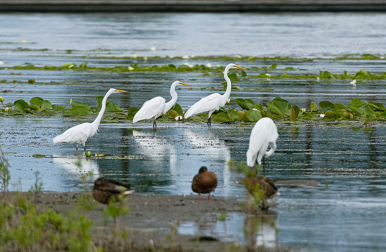 Great Egret Picture-175