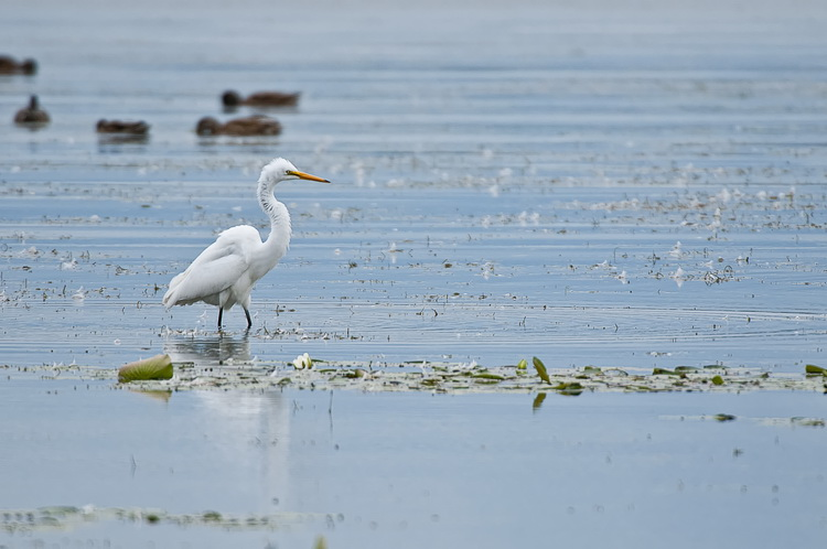 Great Egret Picture-176