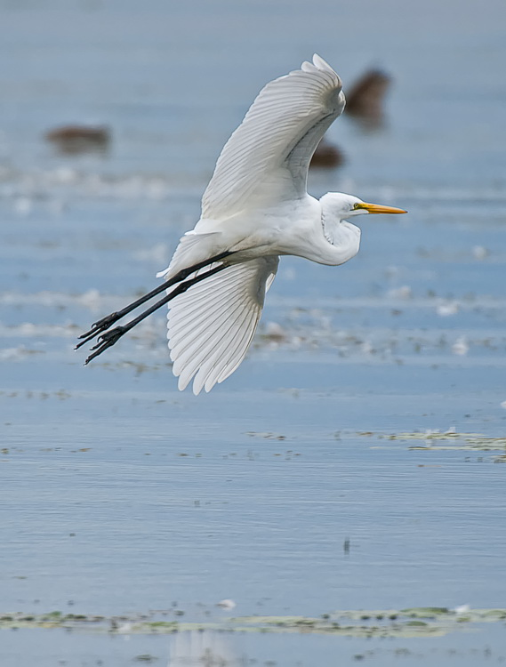 Great Egret Picture-177