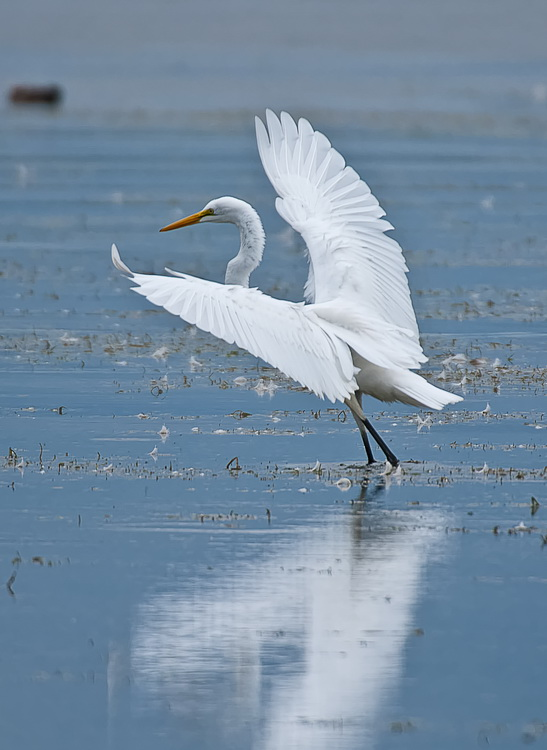 Great Egret Picture-178