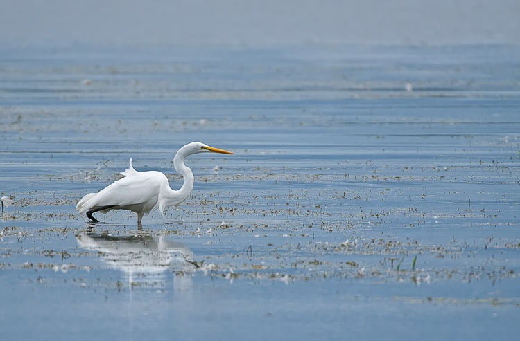 Great Egret Picture-179