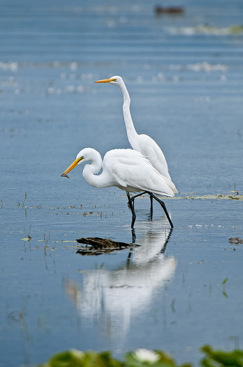 Great Egret Picture-180