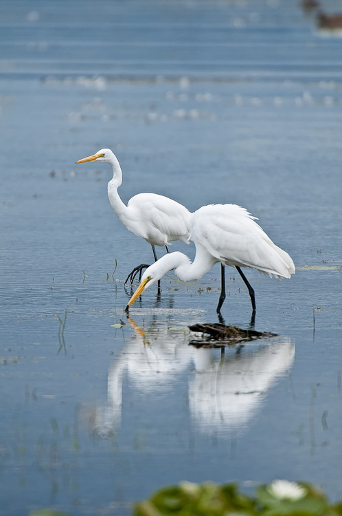 Great Egret Picture-181