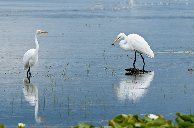 Great Egret Picture-182