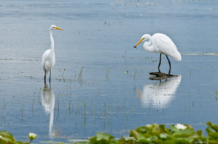 Great Egret Picture-183