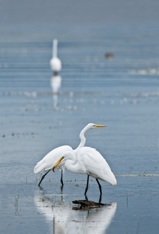 Great Egret Picture-184