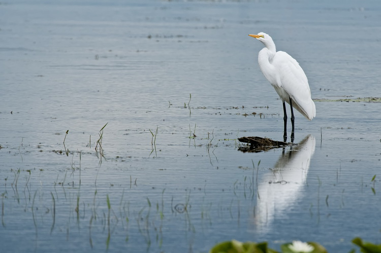 Great Egret Picture-185