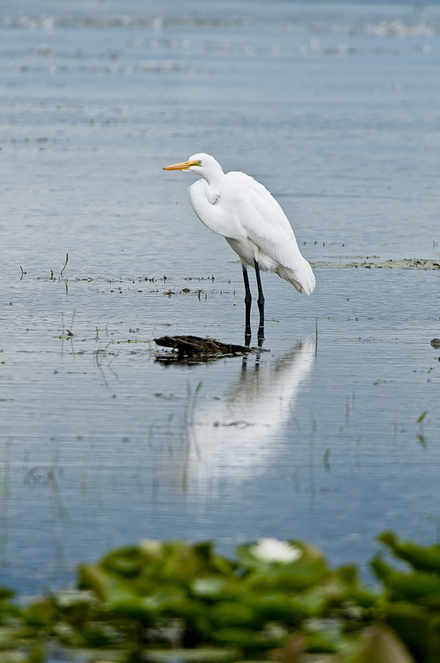 Great Egret Picture-186