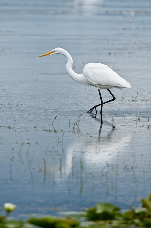 Great Egret Picture-187