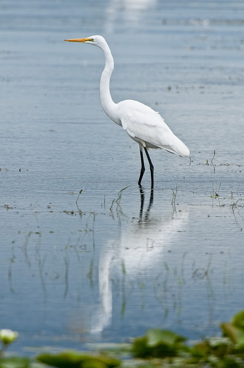 Great Egret Picture-188