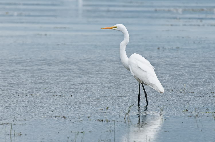 Great Egret Picture-189
