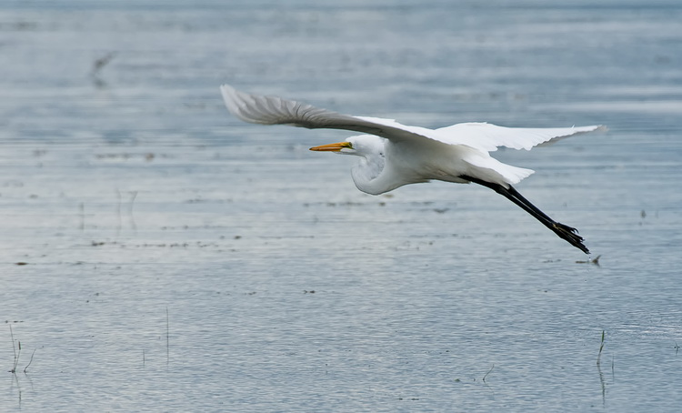 Great Egret Picture-190