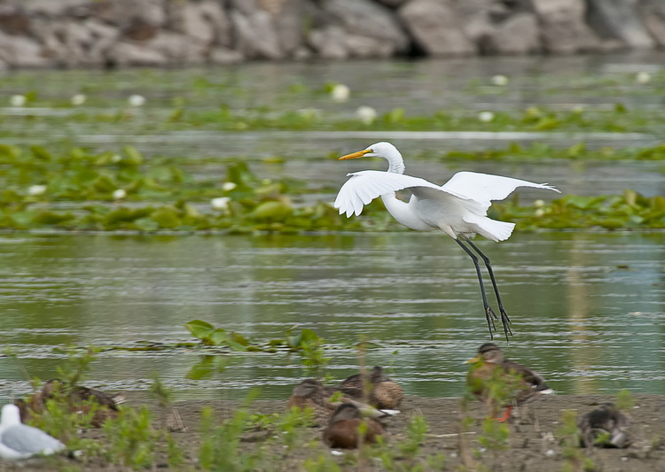 Great Egret Picture-191