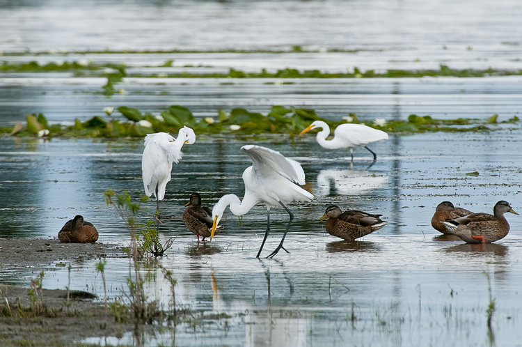 Great Egret Picture-192