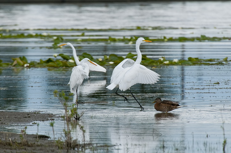 Great Egret Picture-193