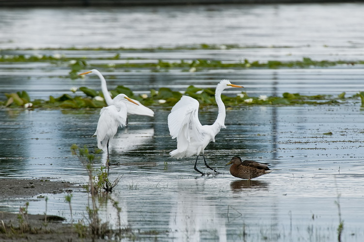 Great Egret Picture-194