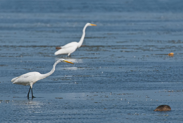 Great Egret Picture-195