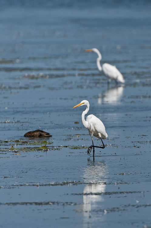 Great Egret Picture-197