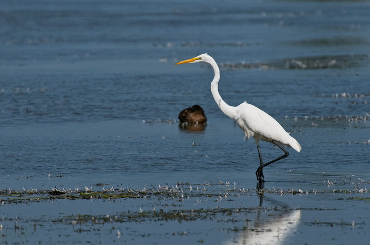 Great Egret Picture-198