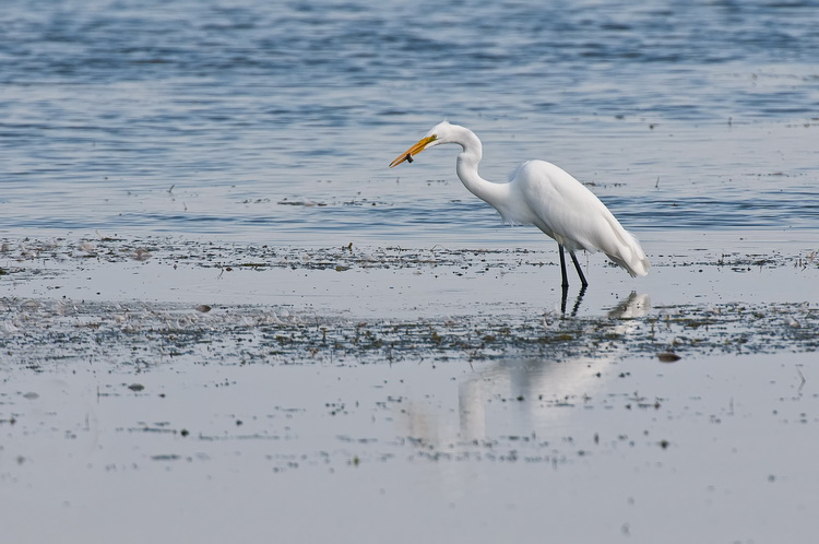 Great Egret Picture-199