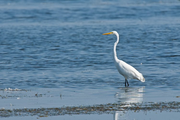 Great Egret Picture-200