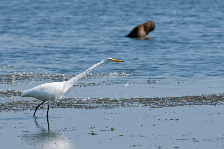 Great Egret Picture-201