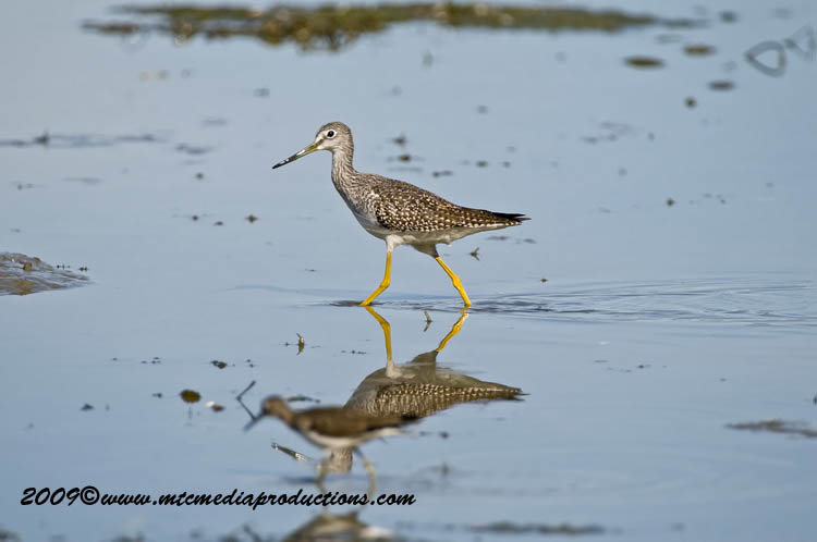 Greater Yellow Legs Picture-00
