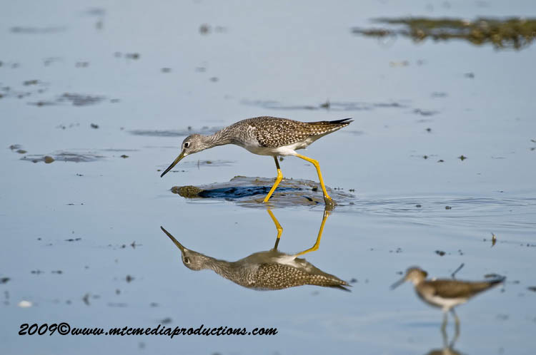 Greater Yellow Legs Picture-01