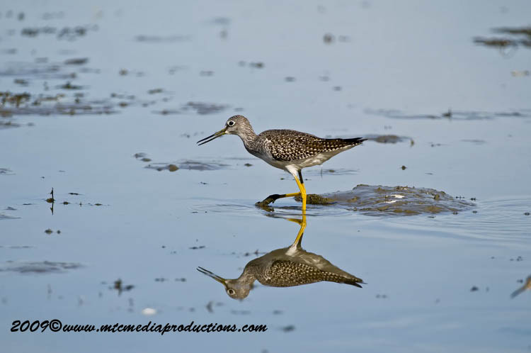 Greater Yellow Legs Picture-02