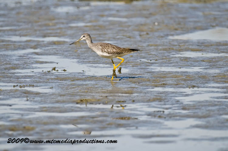 Greater Yellow Legs Picture-03