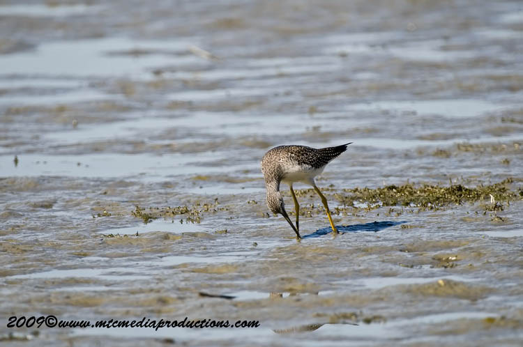 Greater Yellow Legs Picture-04
