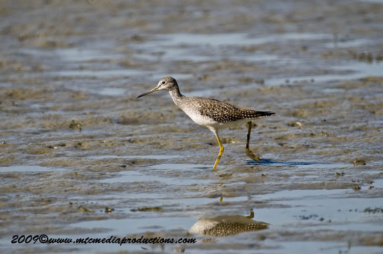 Greater Yellow Legs Picture-06