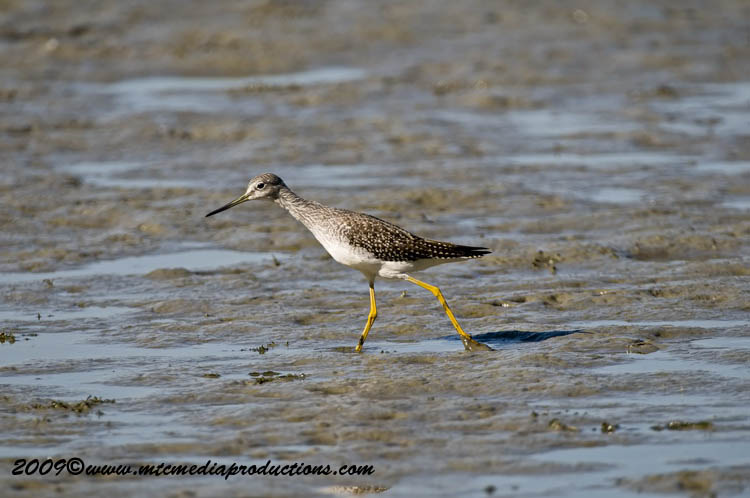 Greater Yellow Legs Picture-08