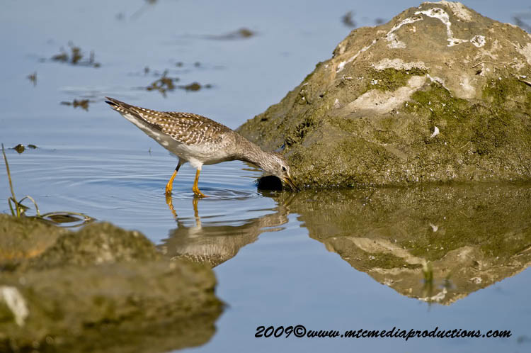 Greater Yellow Legs Picture-09