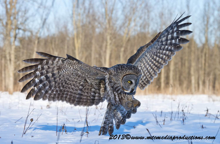 Great Grey Owl Picture-703