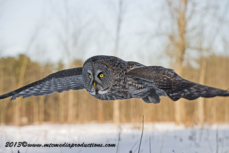 Great Grey Owl Picture-704