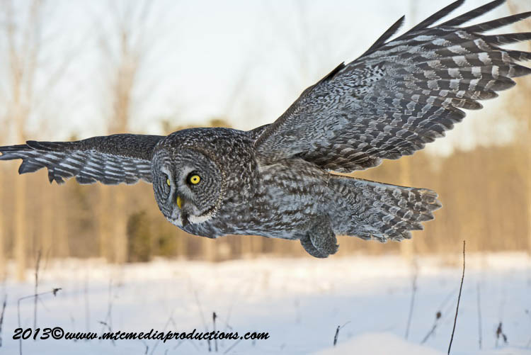 Great Grey Owl Picture-705
