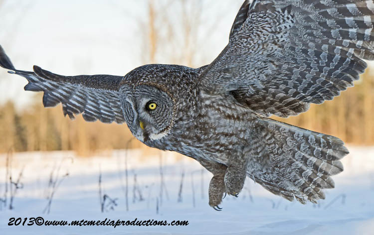 Great Grey Owl Picture-706
