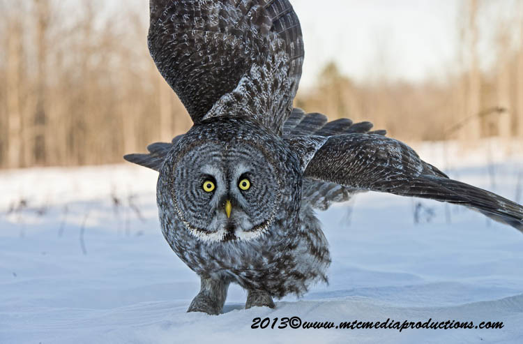 Great Grey Owl Picture-707