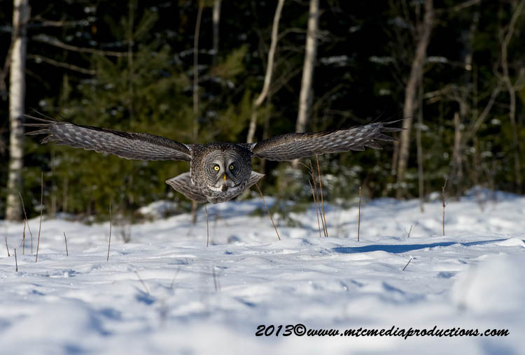 Great Grey Owl Picture-708