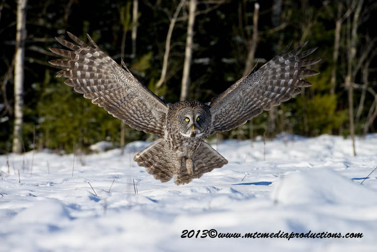Great Grey Owl Picture-709