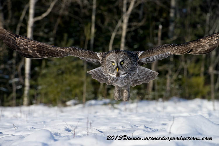 Great Grey Owl Picture-710