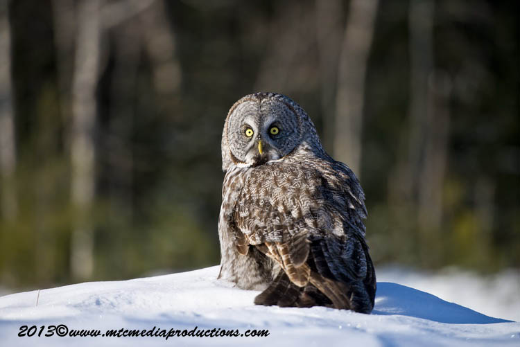 Great Grey Owl Picture-711