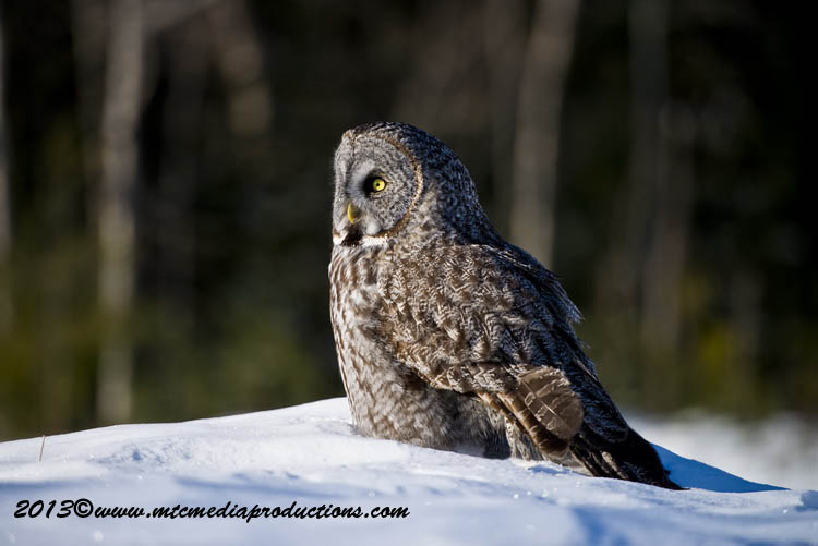 Great Grey Owl Picture-712